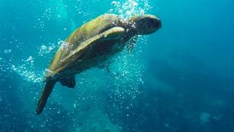 Bubble Turtle